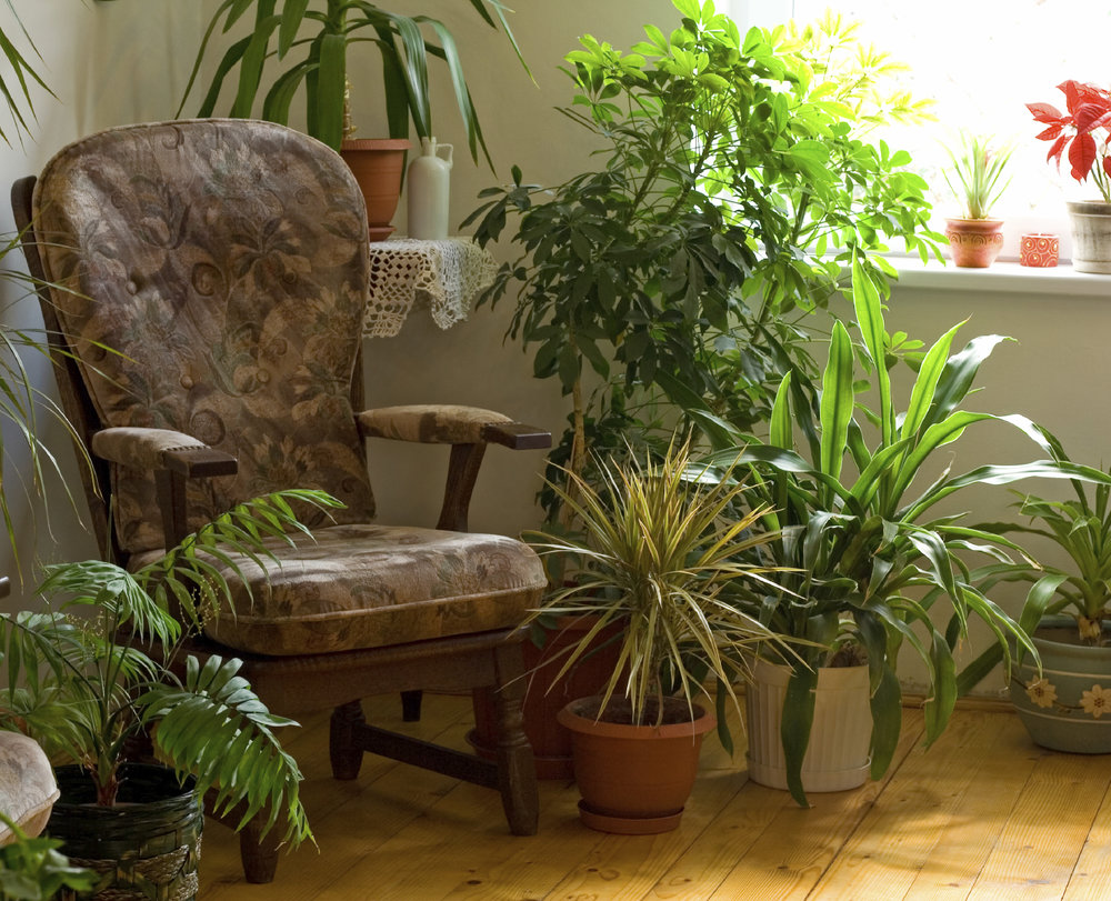 Via https://www.gardeningknowhow.com/houseplants  (Image Description: Brown patterned armchair sits in the corner surrounded by house plants of different varieties. The room is white with a yellow, wooden floor. Flower sit in a window to the right of the chair)