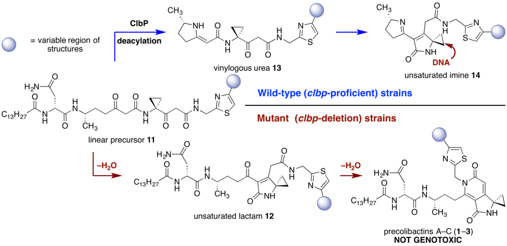 Fig. 3.  Biosynthetic model for (pre)colbactin production.  Our data suggest that the structures of metabolites obtained from clbp deletion strains fundamentally differ from those produced by wild-type strains.