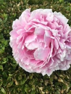 Blog.Flower Peoney.jpg