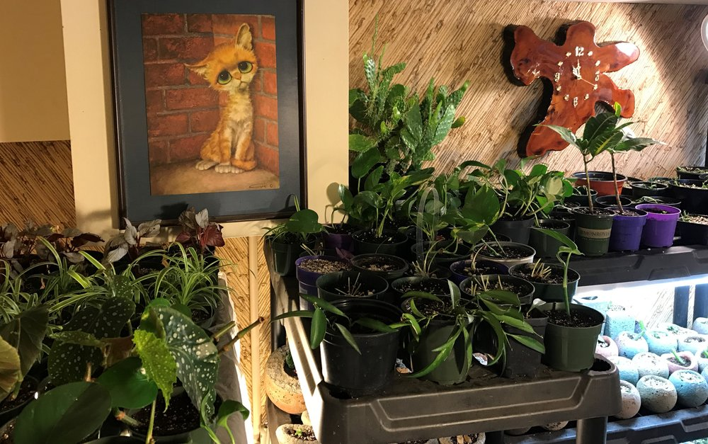 Plants in my green room (contents of my greenhouse stored in my guest bedroom for the Winter;))