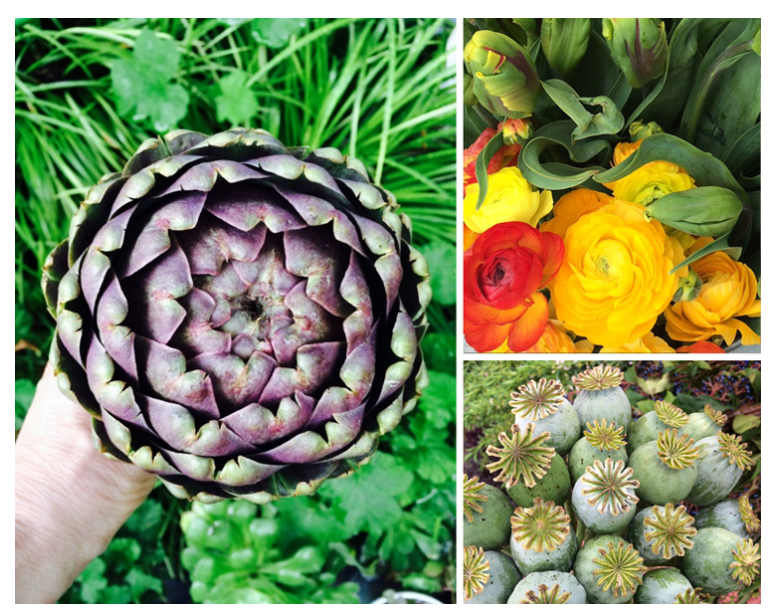 *purple artichoke, ranunculus and local parrot tulips, poppy pods