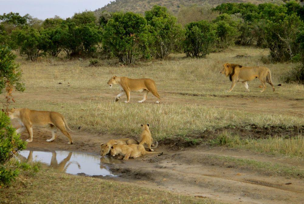 Lions-drinking.jpg