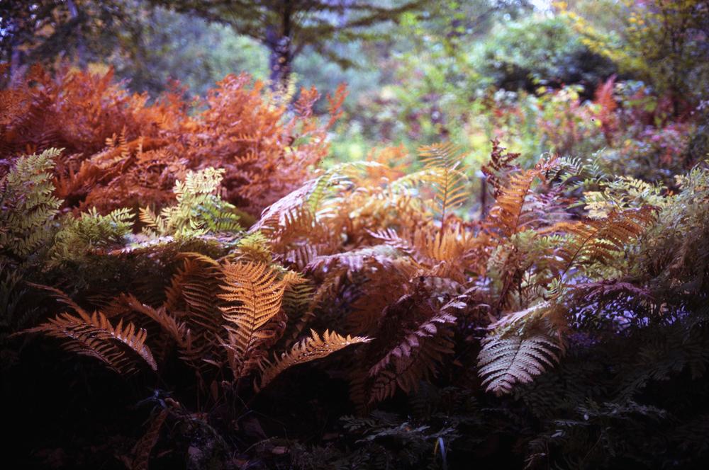 Acadia Ferns