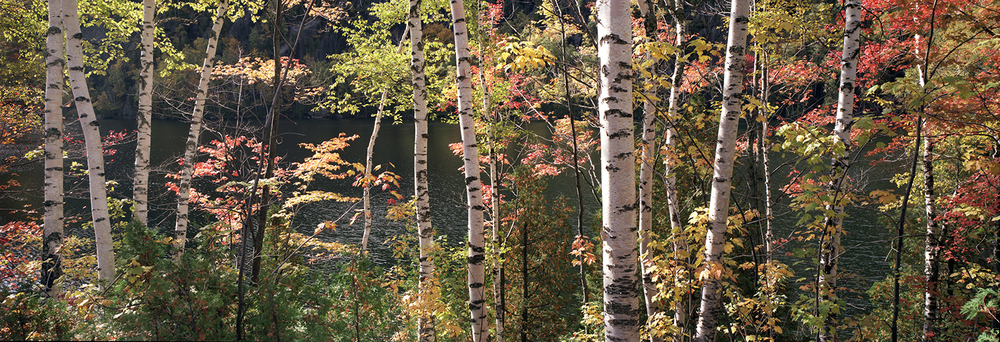 Maples and Birches