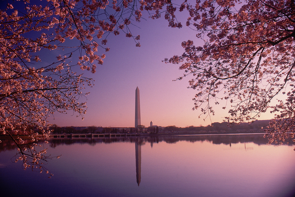 Cherry Blossom Dawn