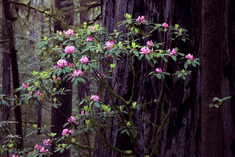 Rhodos and Redwoods