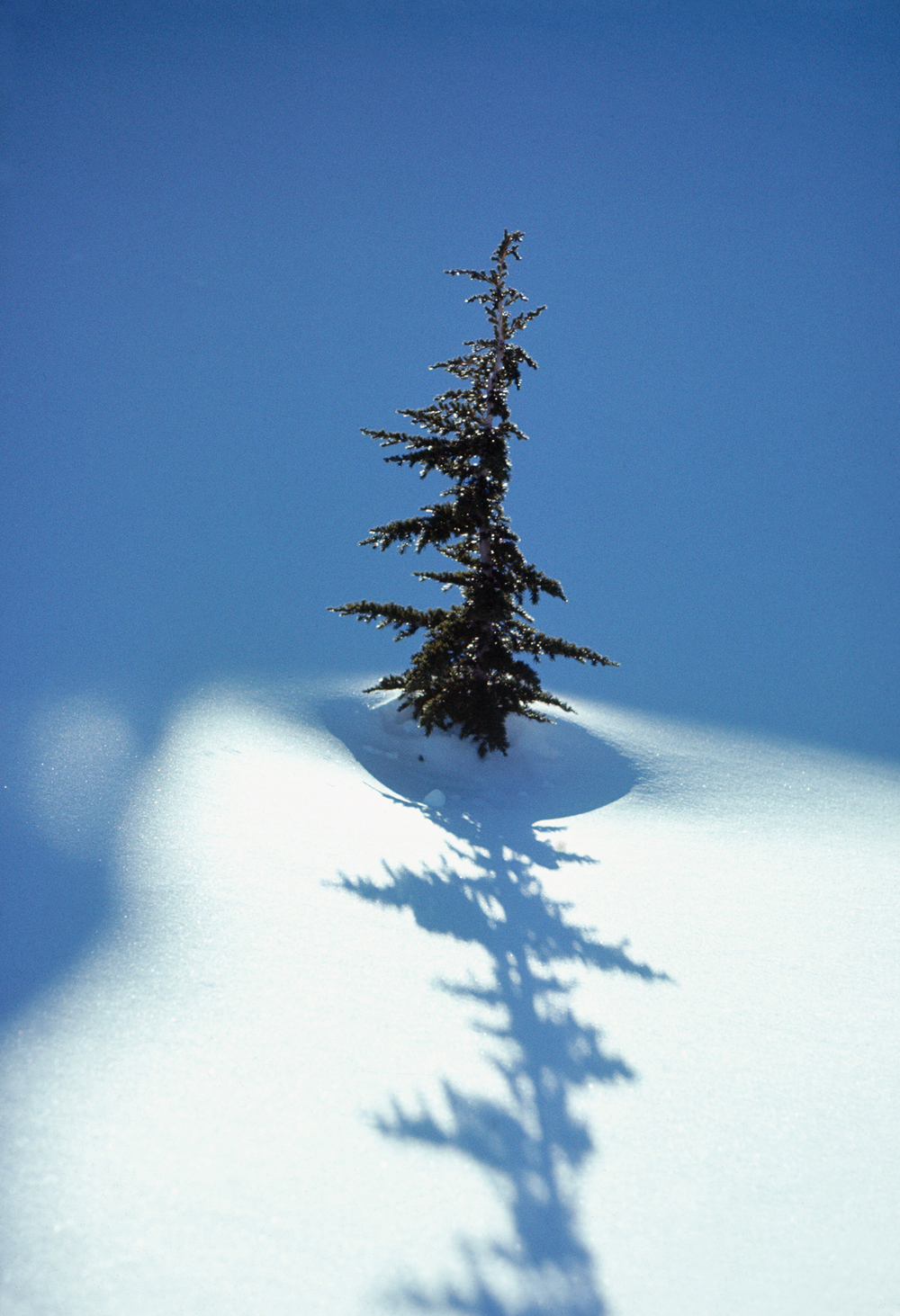Spruce and Shadow