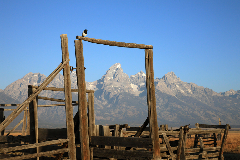 Magpie on the Gate