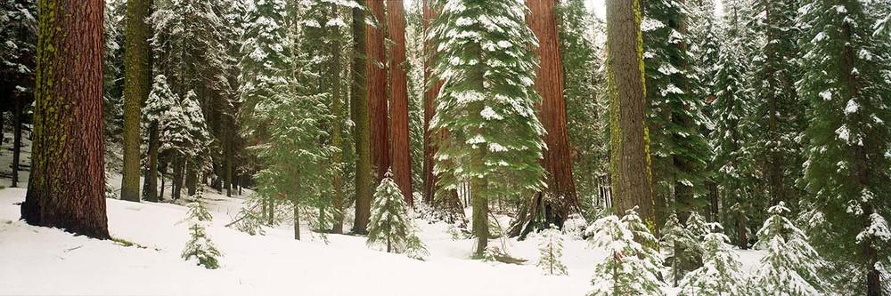 Snowy Sequoias