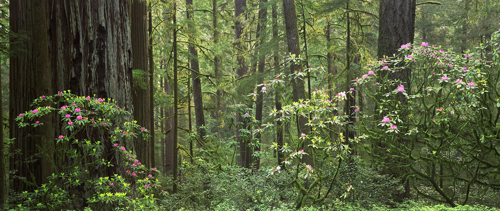 Redwoods and Rhodos