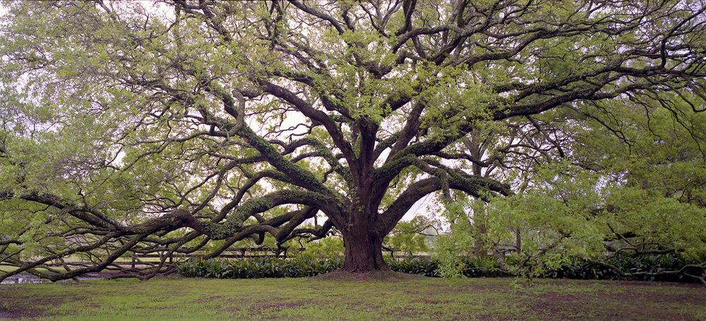 The Louisiana Live Oak