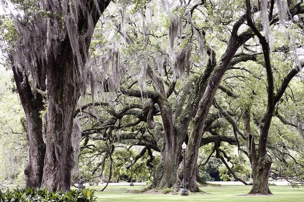 Live Oaks and Moss