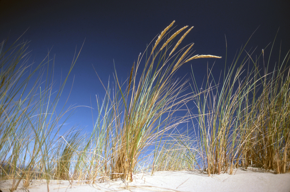 Grasses on the Dunes