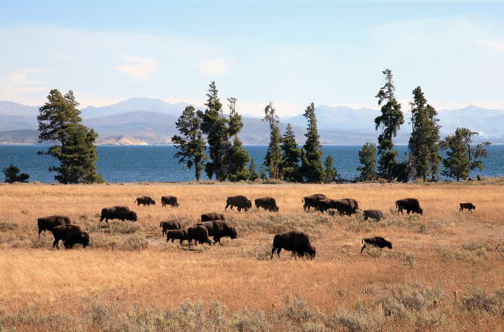 Bison by Yellowstone Lake