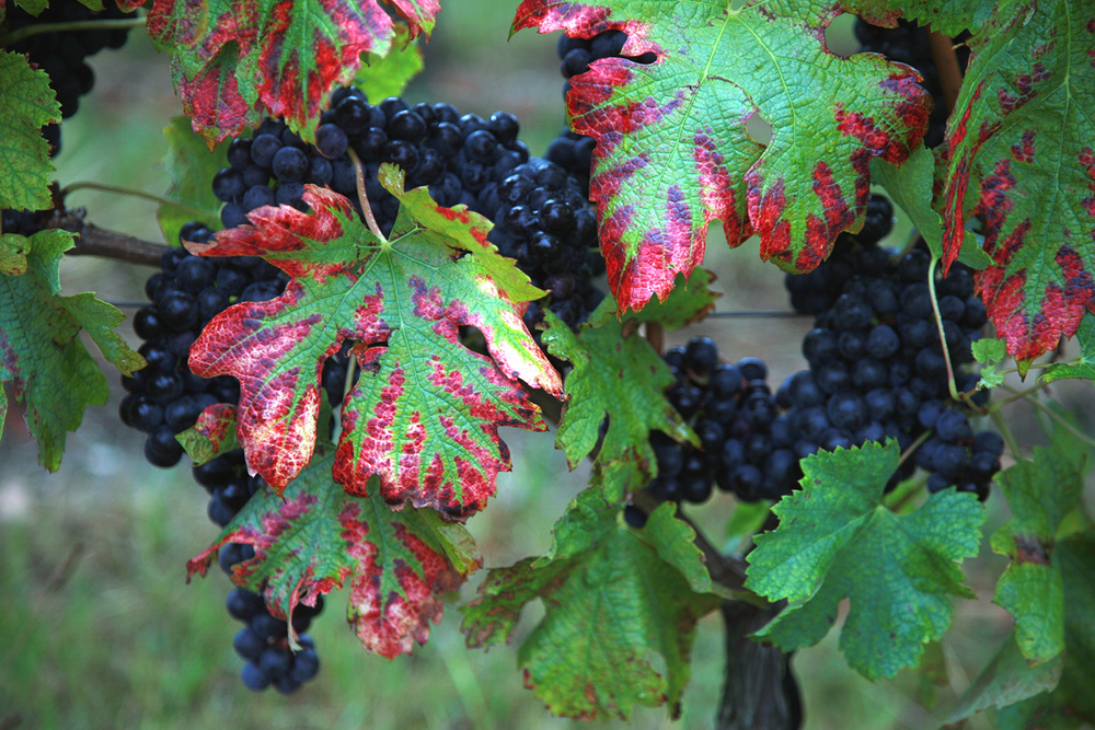 The Grapes of Chateau Ausone