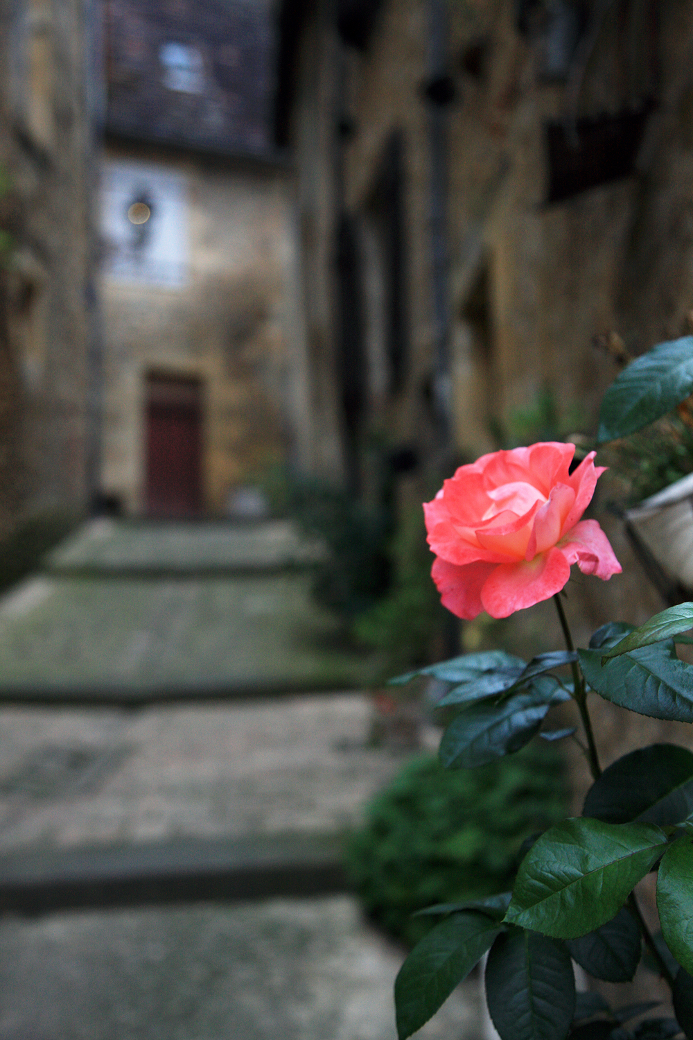The Rose of Sarlat
