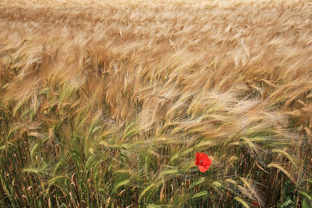 Poppy and Grain