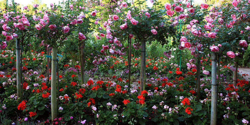 Roses of Giverny