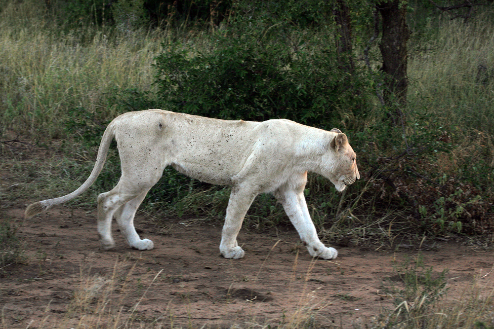 White Female Lion