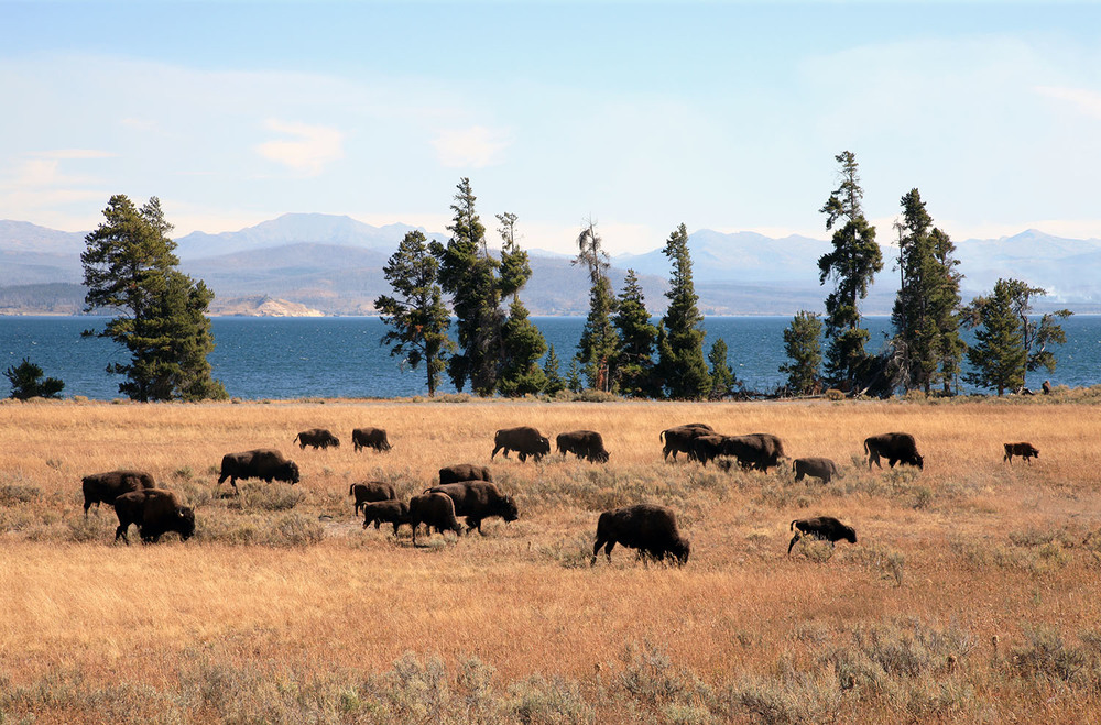Bison at Yellowstone Lake