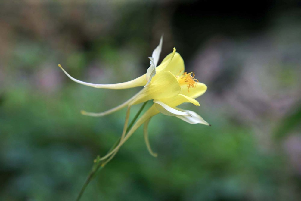 Columbine in Giverny