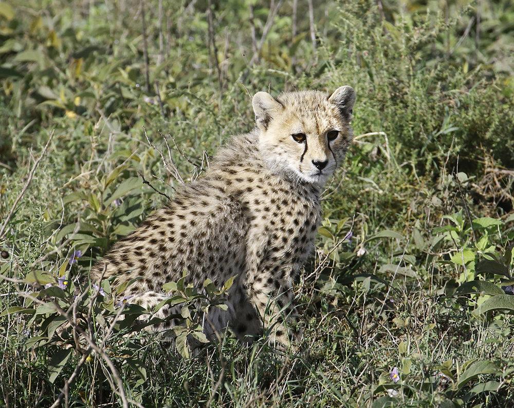 Cheetah Cherub