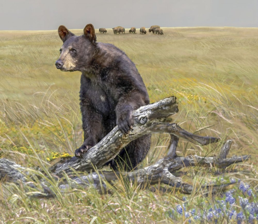 """""""Black Bear Looking Over The Terrain""""- Detail • 30' 6"""" by 9' • digital • Forney Spellman Museum • Forney, TX © KT"""