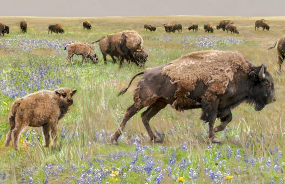 """Bison Roams with Her Calf""- Detail of Background • 30' 6"" by 9' Digital • Scene depicts some native wildlife that existed prior to a populated Forney. • Forney Spellman Museum, Forney, TX © KT"