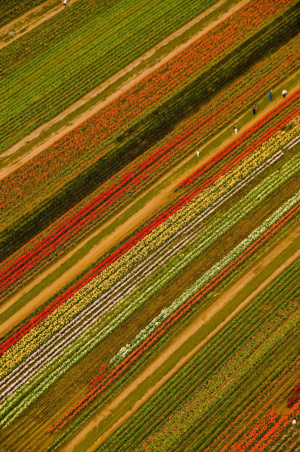 ws_tulip_farm.jpg