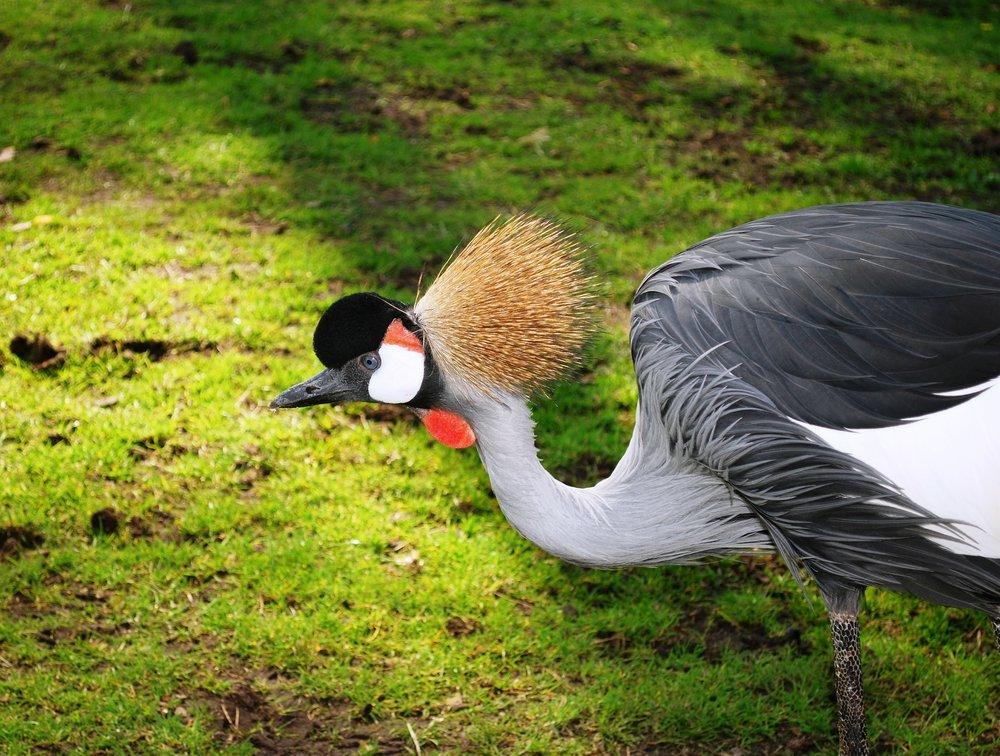 grey-crowned-crane-331988_1920.jpg