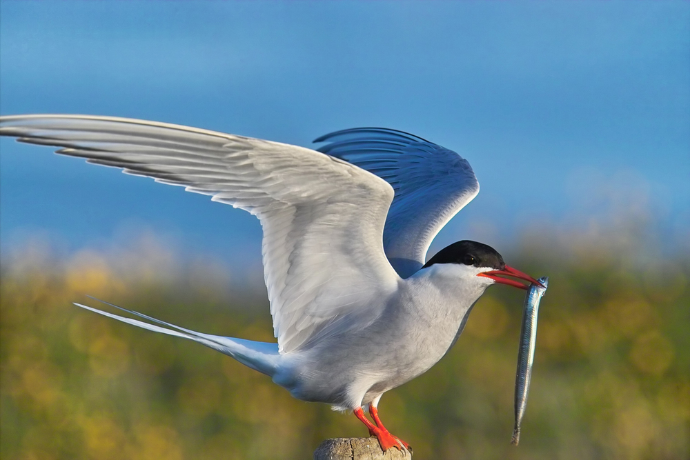 An Arctic Tern eating a fish during a Bird and Sightseeing Tour from Rey