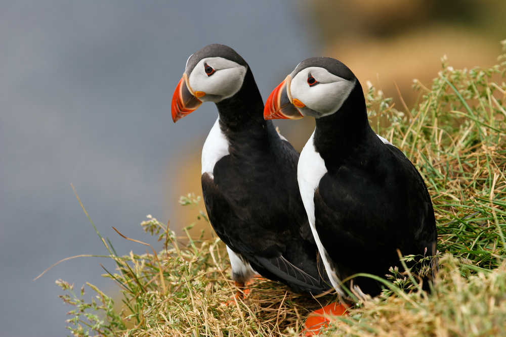 Pair of Puffins look out to sea during an Express Puffin and Bird watching tour in Iceland