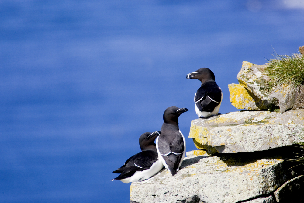A group of Guillemot birds look our to the Faxafloi Bay