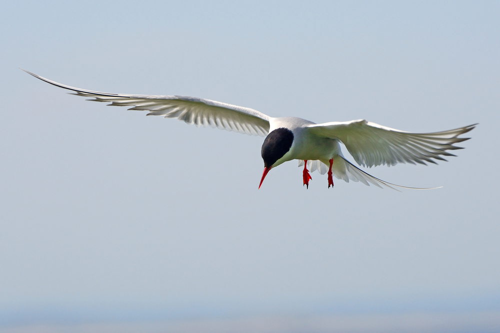 An Arctic Tern during an Express RIB boat Bird watching tour in Reykjavik, Iceland