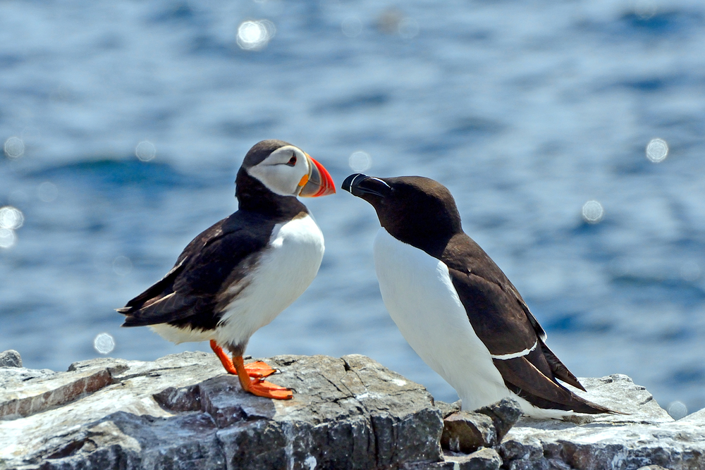 An Atlantic Puffin and A Guillemot in Reykjavik, Iceland