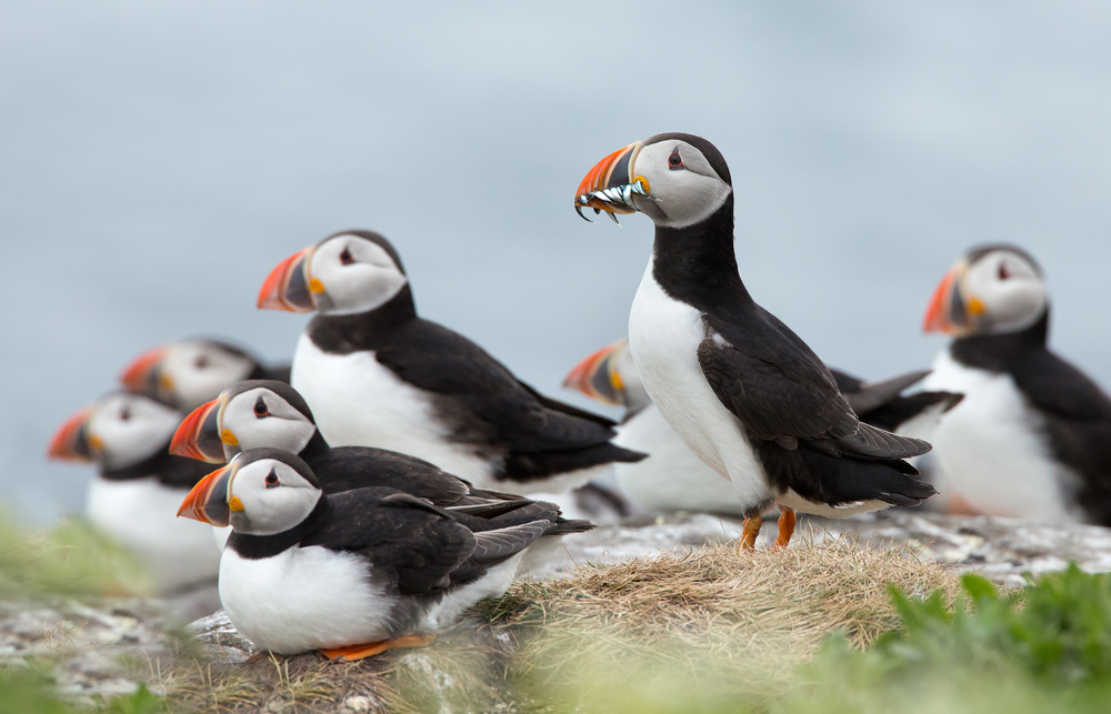 Group of puffins look out to sea during a Classic Puffin Watching Tour