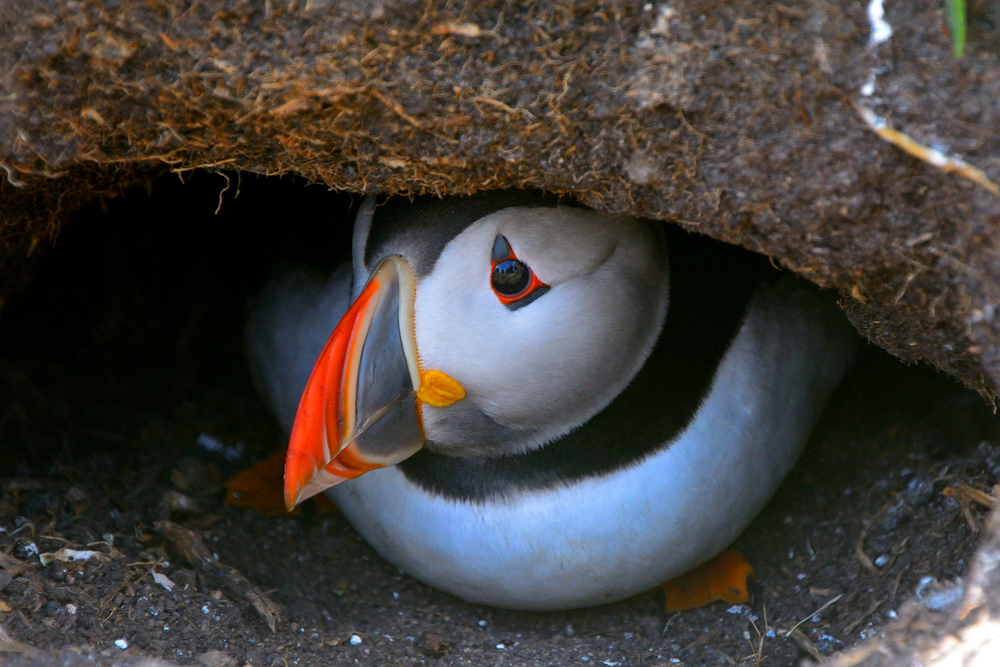 A beautiful puffin looks out from it burrow in Iceland