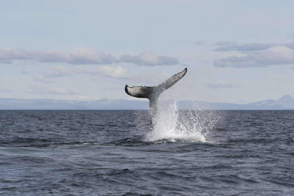 Copy of Humpback_fluke3.jpg