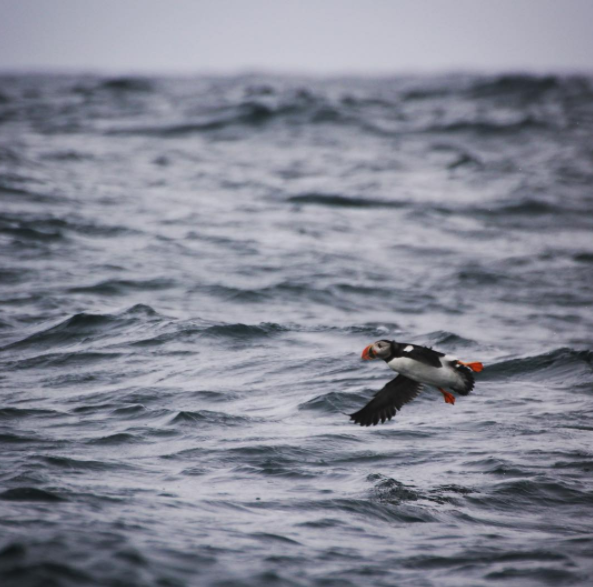 Puffin at flight - Photo taken by our Naturalist, Jess