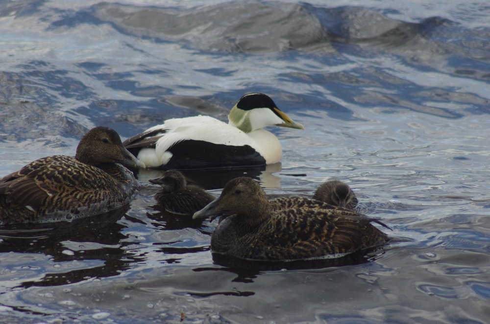 Common Eider, one male with two females and two chicks!