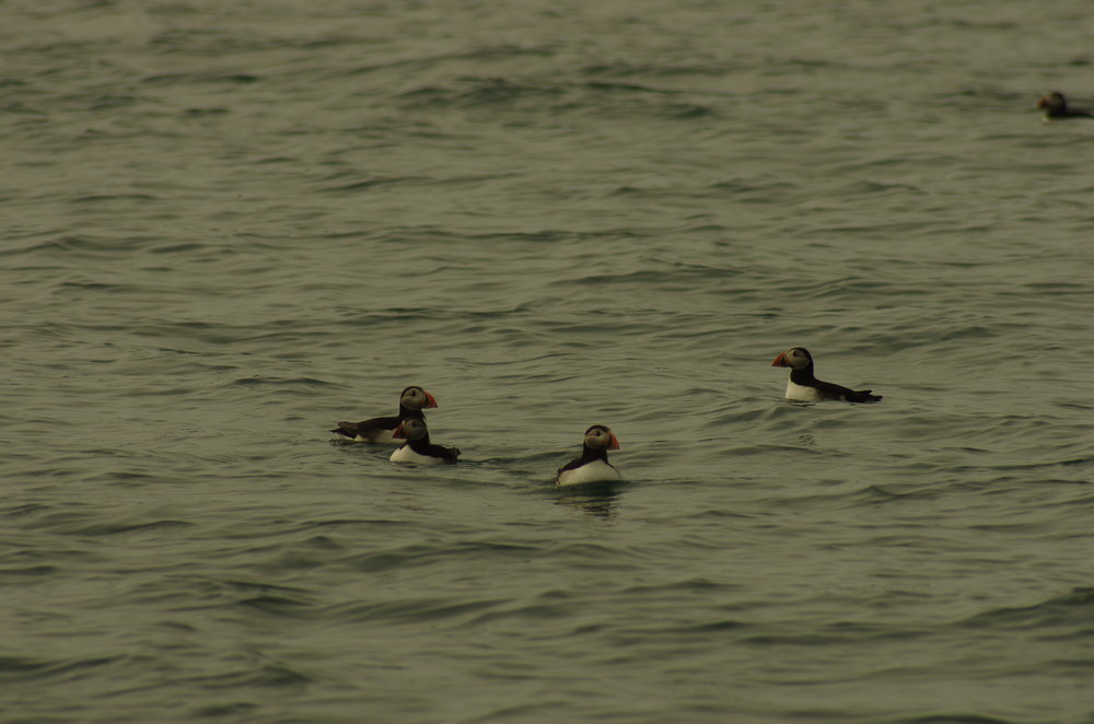 Puffins on the sea