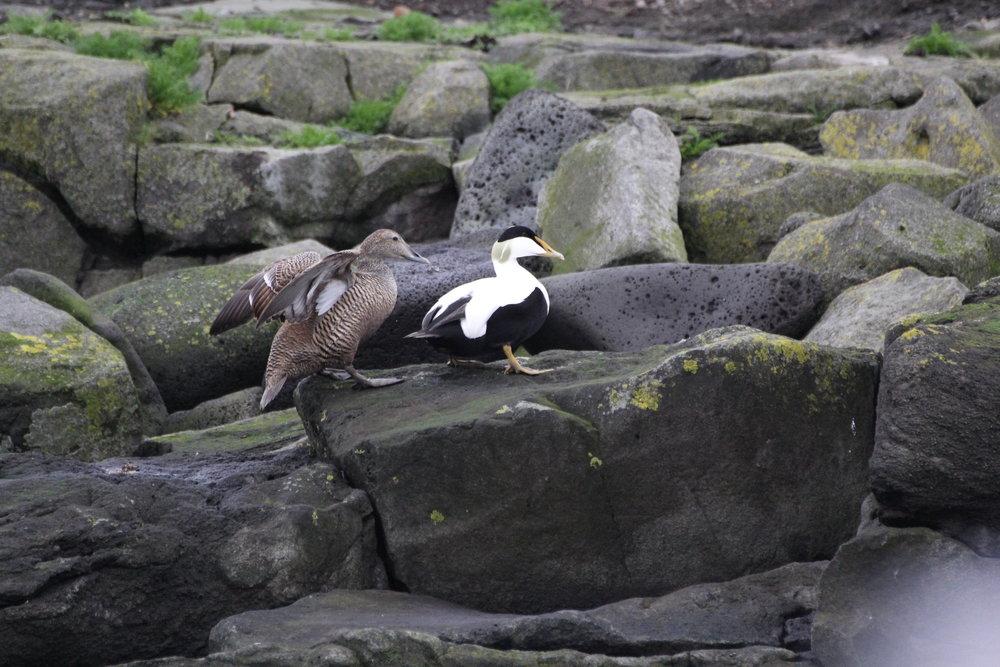 Couple of Eider ducks