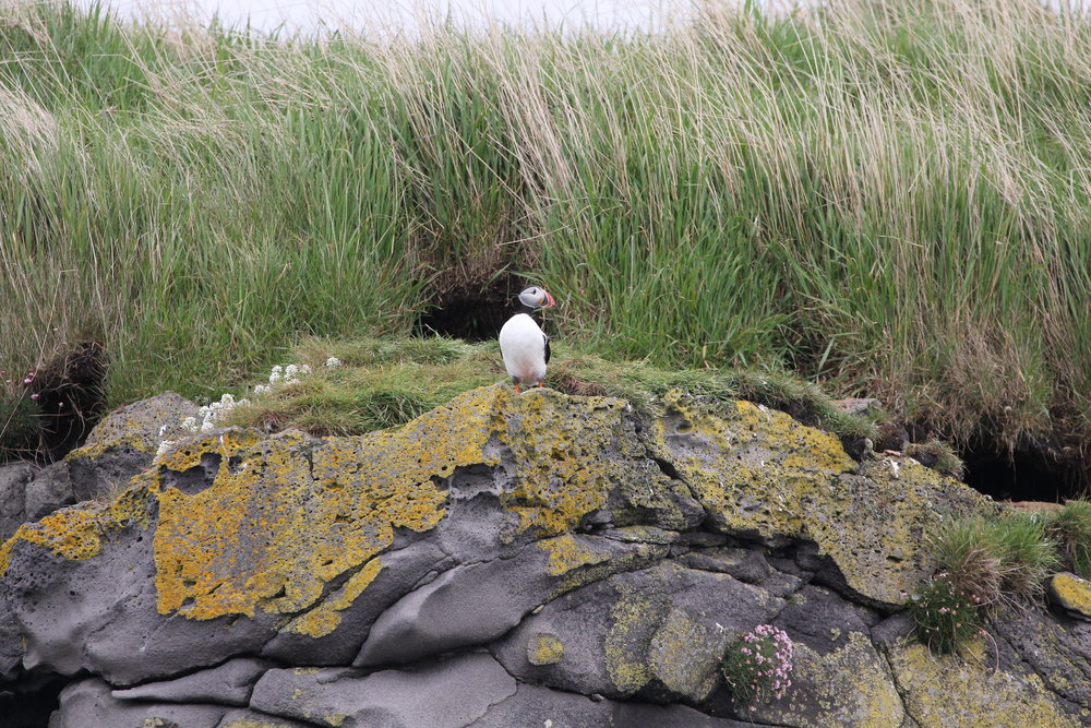 Atlantic puffin in front of burrow