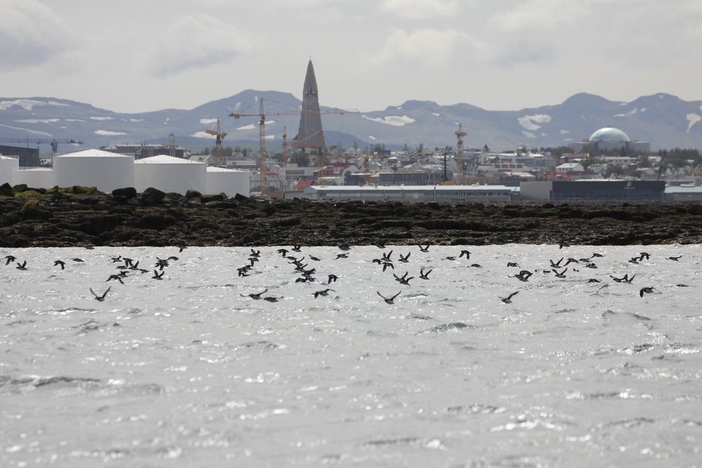 Reykjavik and puffins