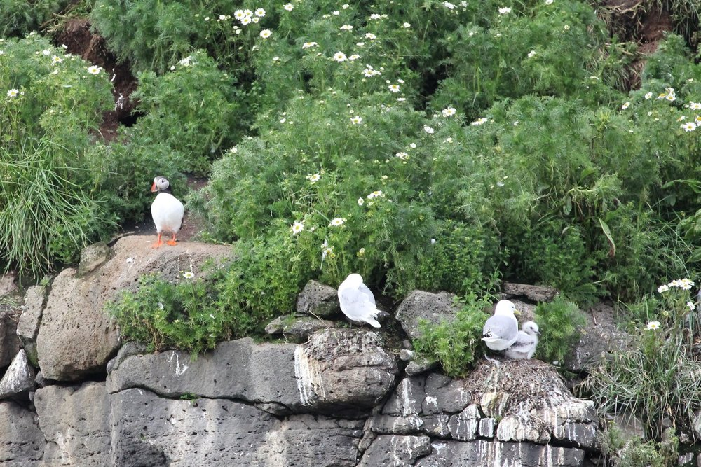 Puffin and Kittiwake on Lundey