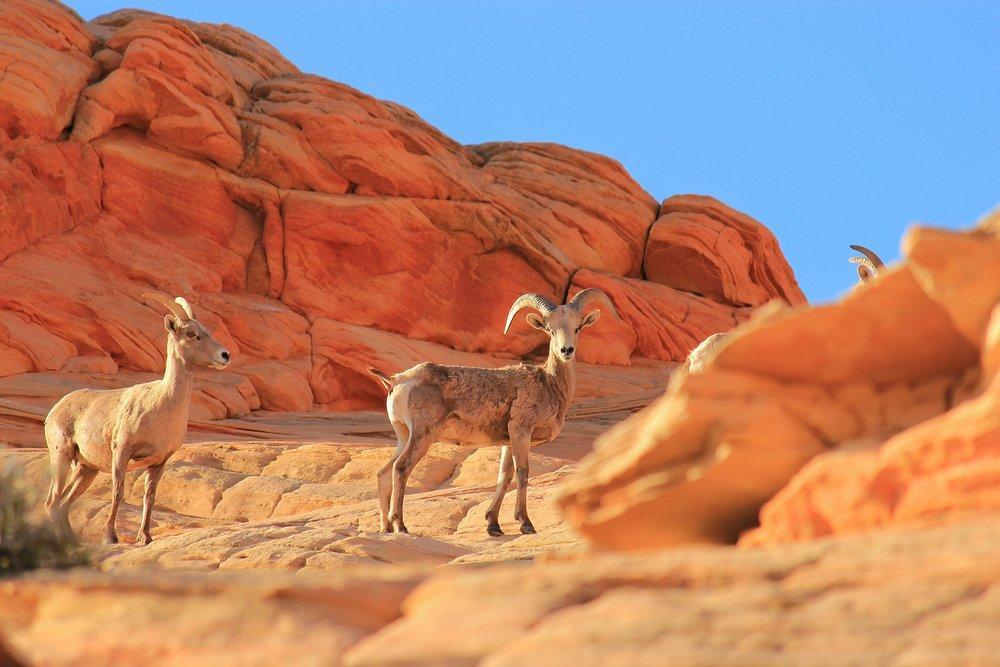 Desert Big Horn Sheep Surprise Visit