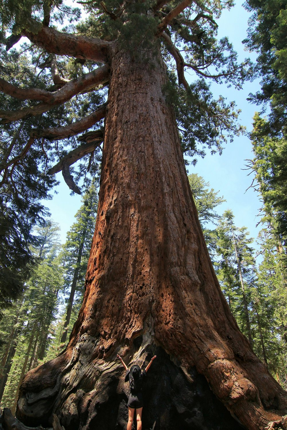 The Giant Sequoia named Grizzly Giant is between probably 1900– 2400 years  old: the oldest tree in the grove. In 1932, park officials claimed it as the fifth largest (by volume) tree in the world, but other trees were subsequently found to be larger.