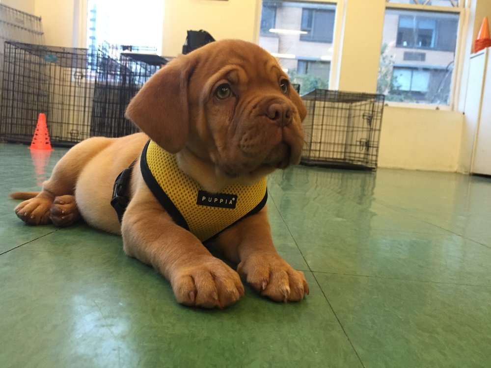 Puppy Intensives - Puppy Intensive packages are custom-designed to meet your goals. Intensives can cover everything from house-training to prevention of aggression and undesirable behaviors. Learn More.