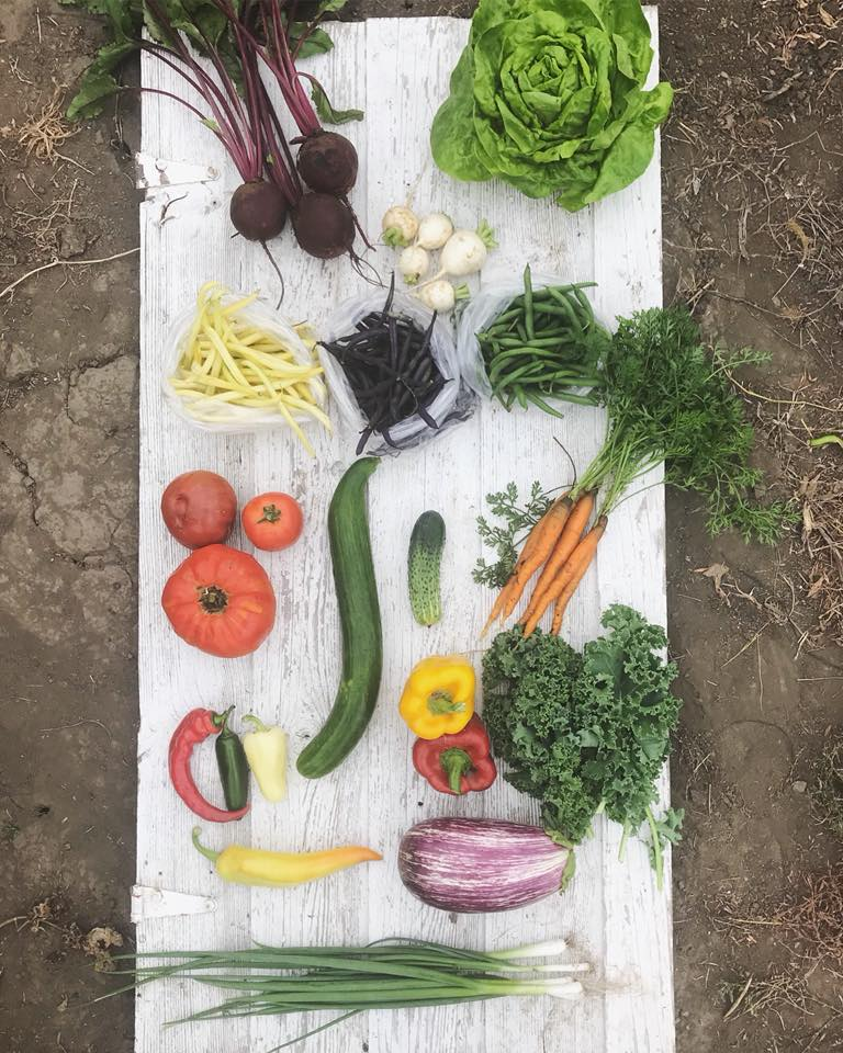 Week 12: Beets, Romaine Lettuce, Turnips, Yellow Beans, Purple Beans, Green Beans, Tomatoes, Cucumbers, Carrots, Hot Peppers, Sweet Peppers, Kale, Eggplant, Green Onions