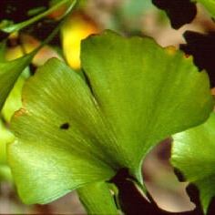 ginkgo_botanicals.JPG